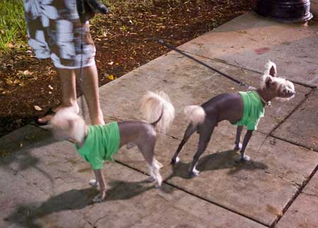 small ugly dogs with sweaters
