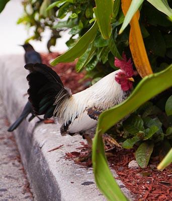 Publix parking lot chicken