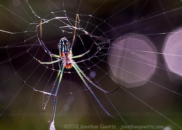 Everglades Spider