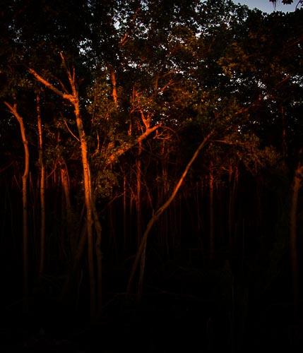 Mangroves At Sunset