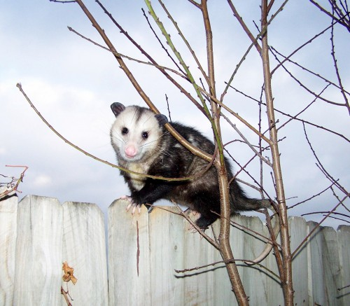 Smile, 'Possum - you're on candid camera!