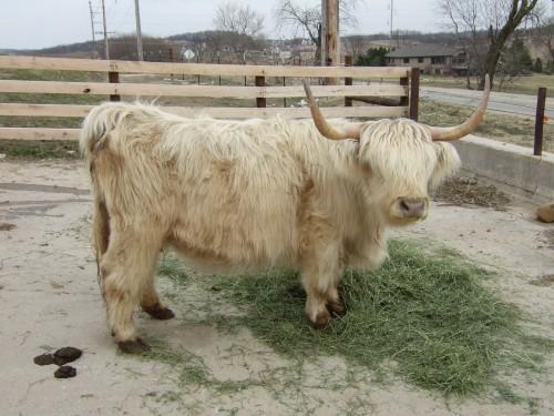 cows 015