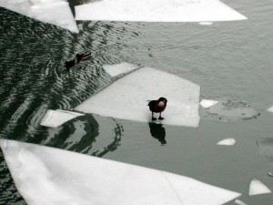Goose On Ice Floe